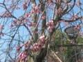 [京都][花]円山公園20090321