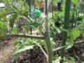 [農園]トマト