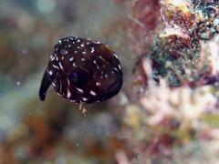 サザナミフグの幼魚