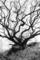 1987年4月 侍 櫨の木
