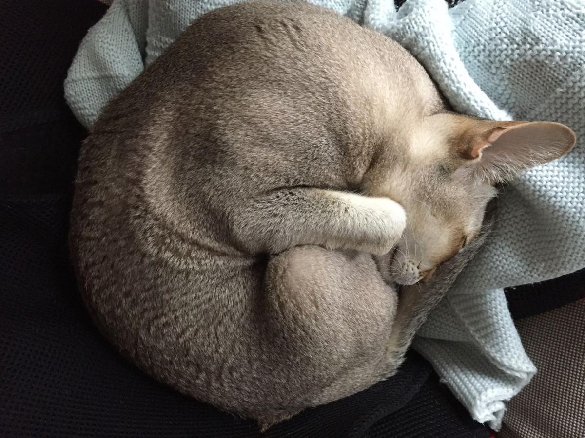 ネコがアンモナイトのように丸くなって寝ている