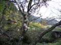 曲りの秋の桜