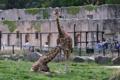 油断したアミメキリン 広島市安佐動物公園