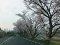 旭川の桜の朝 20120410