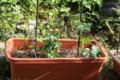 [野菜][野菜]20090608ナスとキュウリとナスタチウム