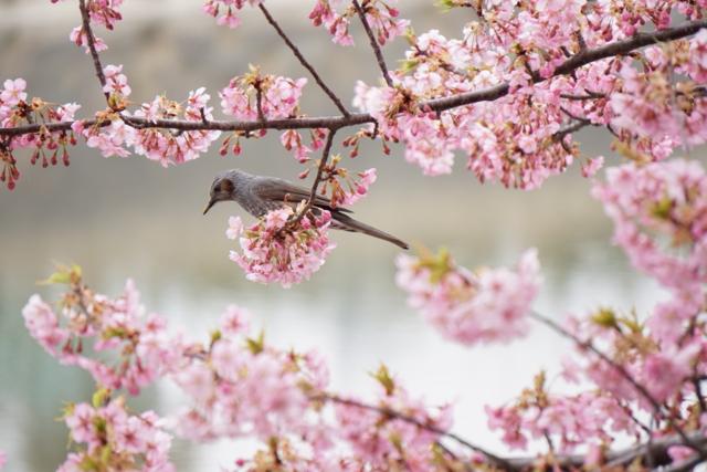 20150315 河津桜