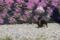 20180422國田家の芝桜