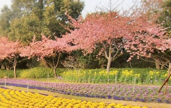 なばなの里の桜