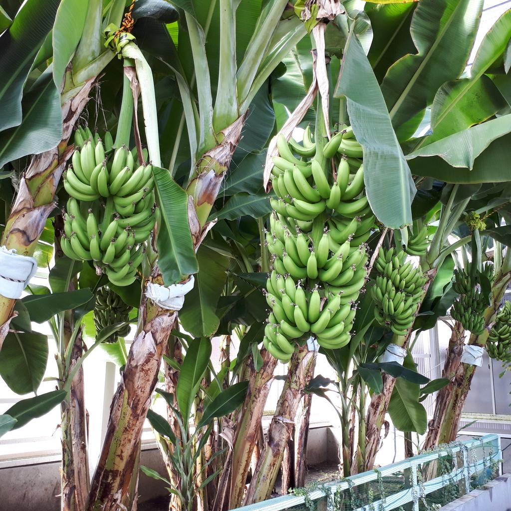 別府 海地獄 温室 バナナ