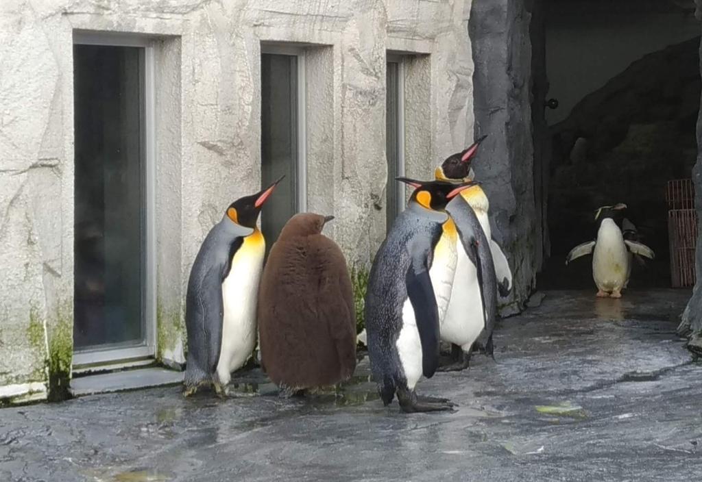 旭山動物園 子ペンギン