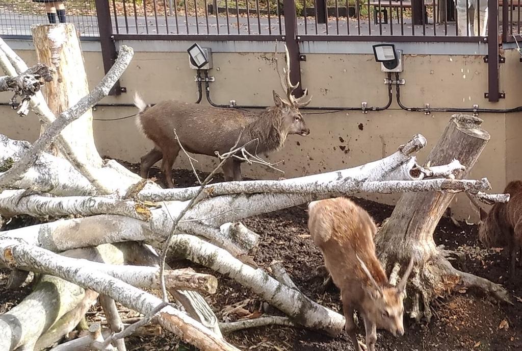 旭山動物園 エゾシカ
