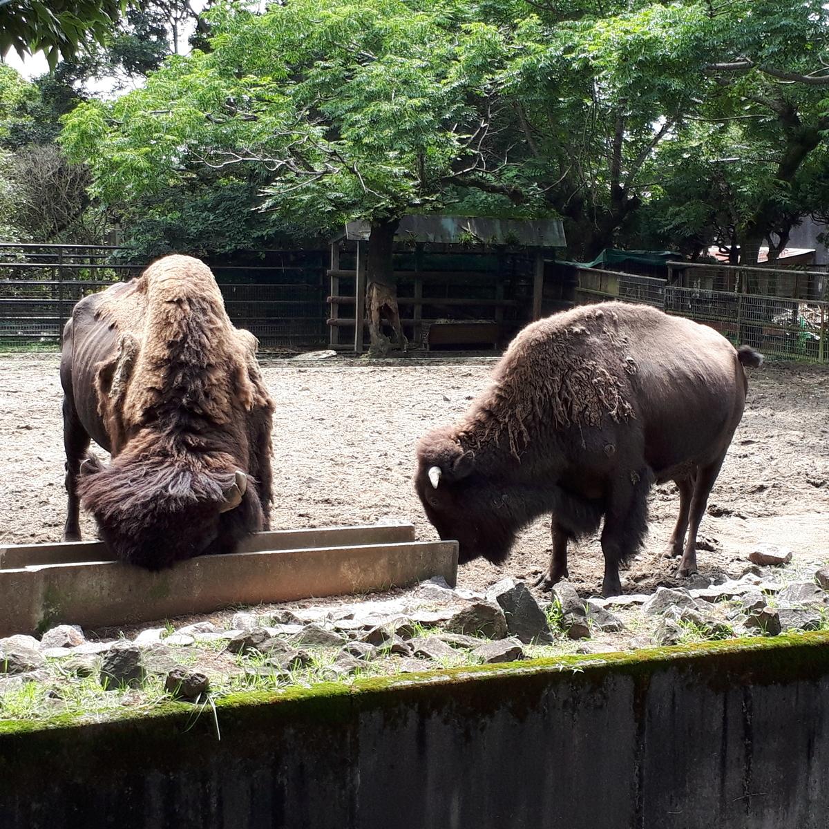 宮崎市フェニックス自然動物園 バイソン
