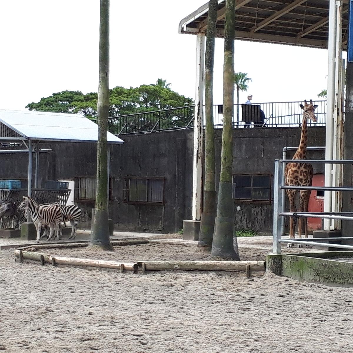 宮崎市フェニックス自然動物園 シマウマ キリン