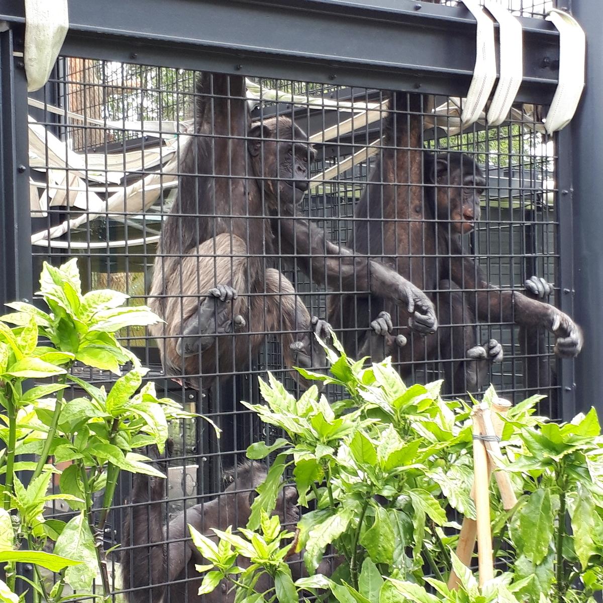 宮崎市フェニックス自然動物園 チンパンジーのえさ取り