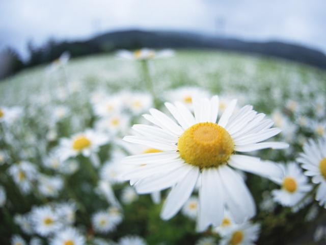 野に咲く白い小さな花