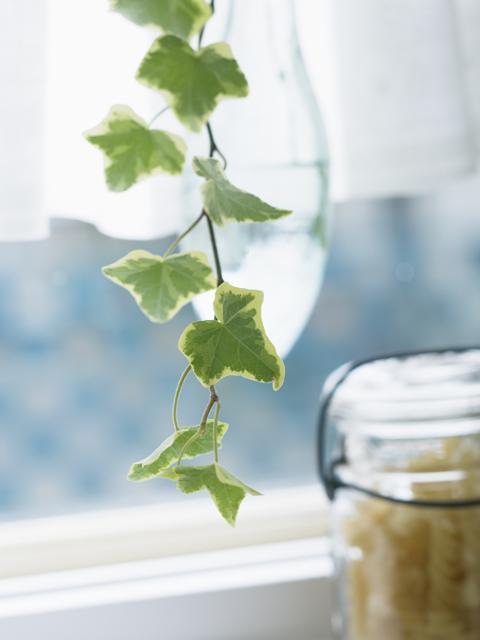 窓辺のアイビーの葉