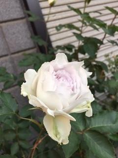 薔薇 ガブリエル