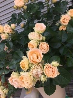 薔薇 アンティークレース
