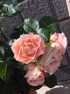 薔薇 ロマンチックレース