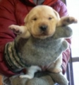 [dog][犬][子犬][ラブラドール]イエローラブ 仔犬2