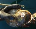 [牡蠣][気仙沼][風景][三陸][リアス][森][海][森は海の恋人][牡蠣]来年の出番を待つ岩牡蠣(水山)