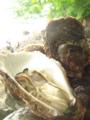 [牡蠣][風景][気仙沼][三陸][リアス][森][海][森は海の恋人][牡蠣]岩牡蠣(水山)
