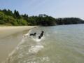 [鳴き砂][砂浜][犬][dog][海][ラブラドール]oyster dogs2