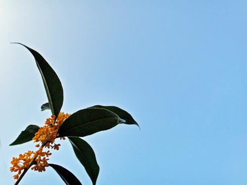 金木犀の匂う朝(秋空、舞根)