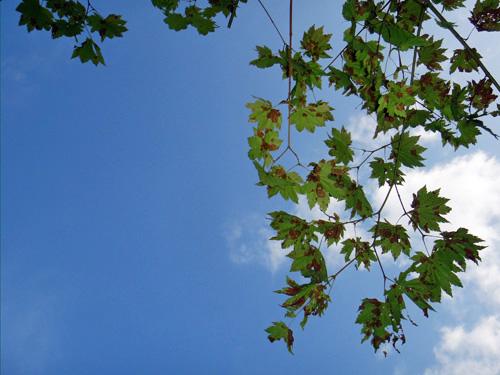 楓の空(舞根)
