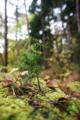 [風景][リアス][三陸][秋][空]倒木の小杉(舞根)
