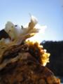 [風景][気仙沼][三陸][リアス][森][海]牡蠣の花(舞根湾)