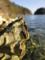 古牡蠣(舞根湾)