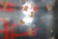 [風景][気仙沼][三陸][リアス][森][海]タラバ・エゾア幼生20110304