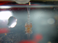 [風景][気仙沼][三陸][リアス][森][海]タラバ・エゾア幼生20110305