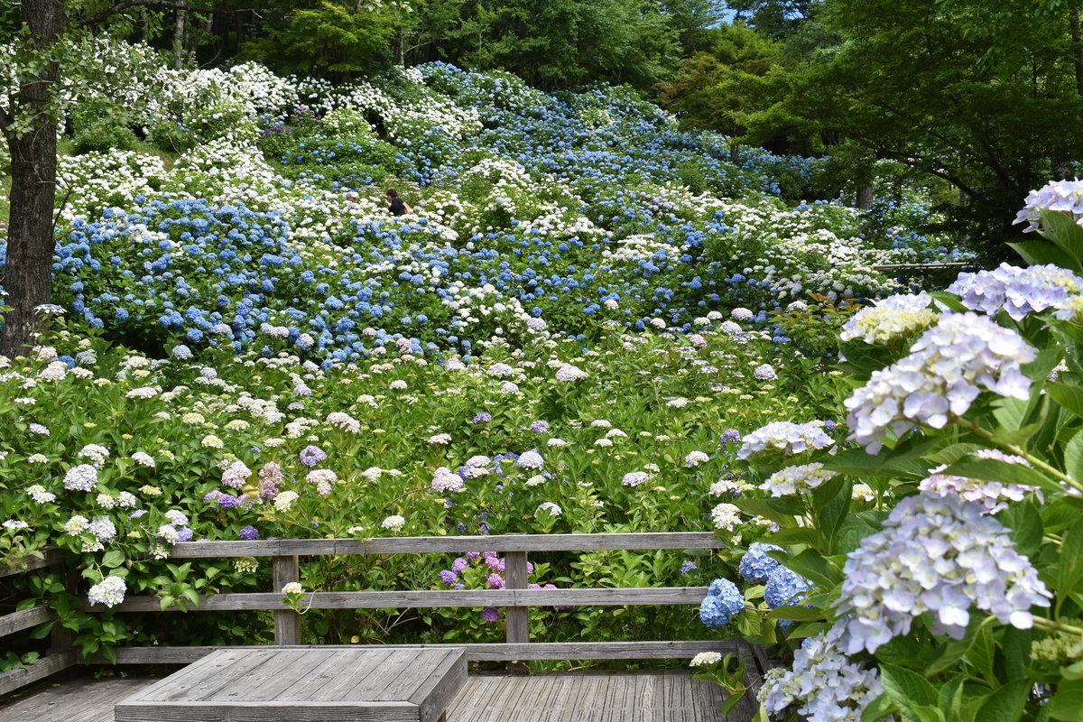 舞鶴自然文化園 アジサイ園観賞デッキ 2018年6月18日 撮影:MKタクシー