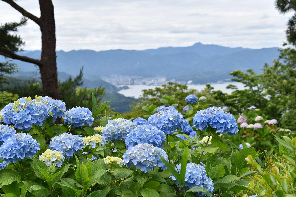 舞鶴自然文化園 アジサイの海 2018年6月18日 撮影:MKタクシー