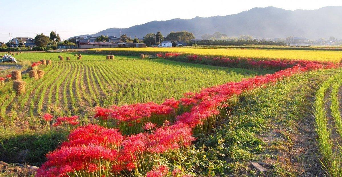 嵯峨野の彼岸花