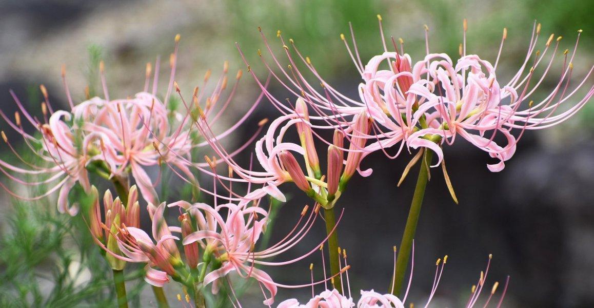 京都府立植物園の彼岸花