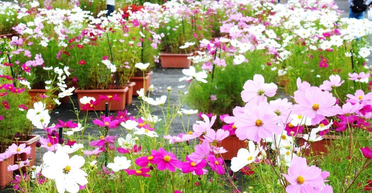 京都府立植物園のコスモス