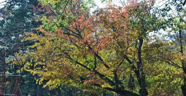 京都御苑の桜紅葉
