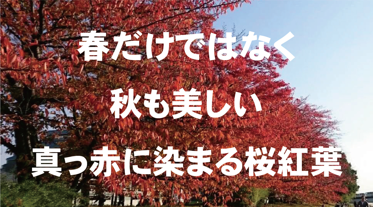 春だけではなく秋も美しい真っ赤に染まる桜紅葉(さくらもみじ)