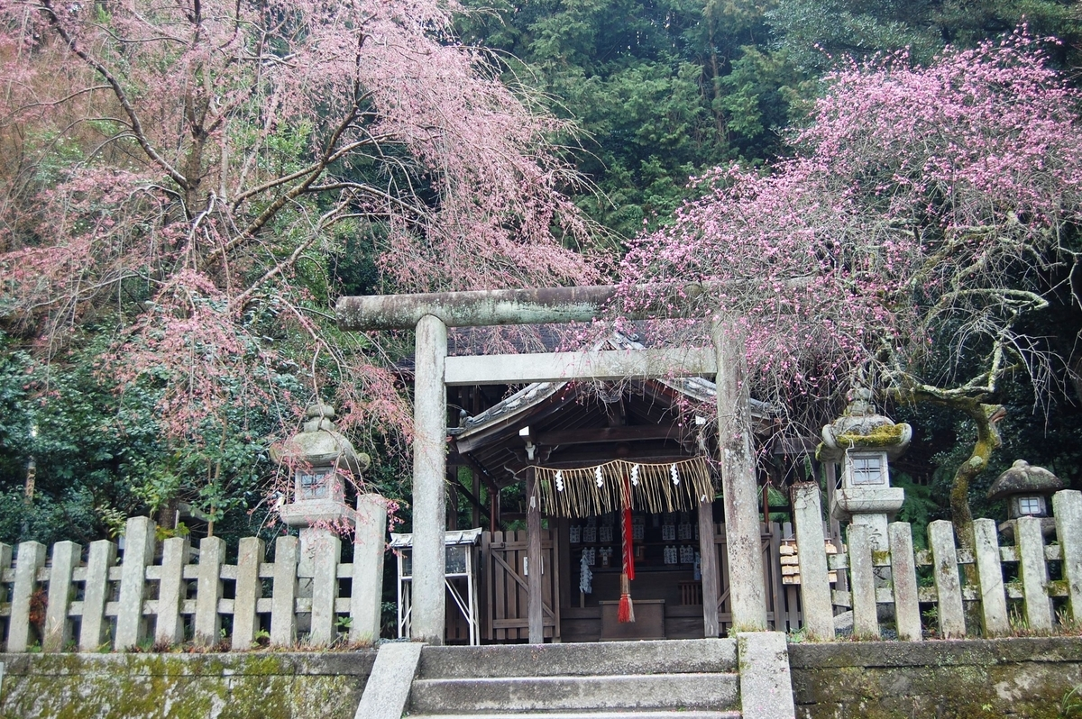 大豊神社の枝垂桜と枝垂梅