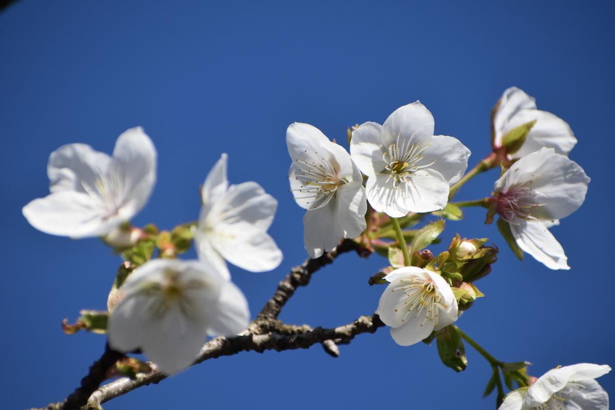 京都府立植物園の不断桜