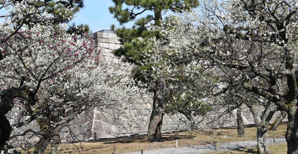 二条城の梅