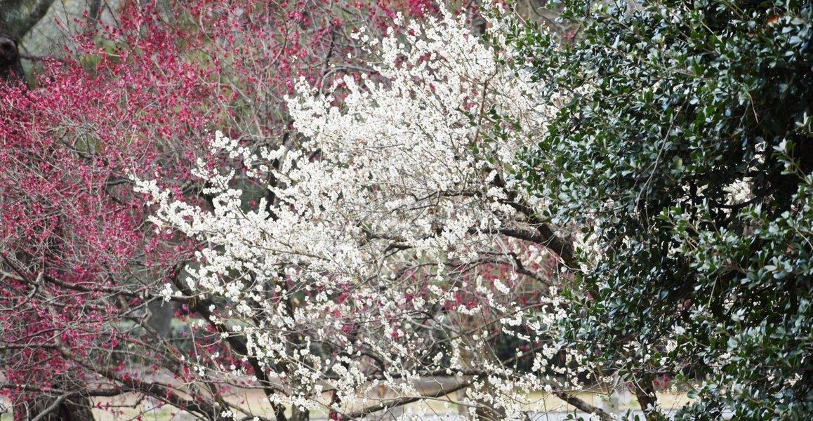 京都御苑の梅