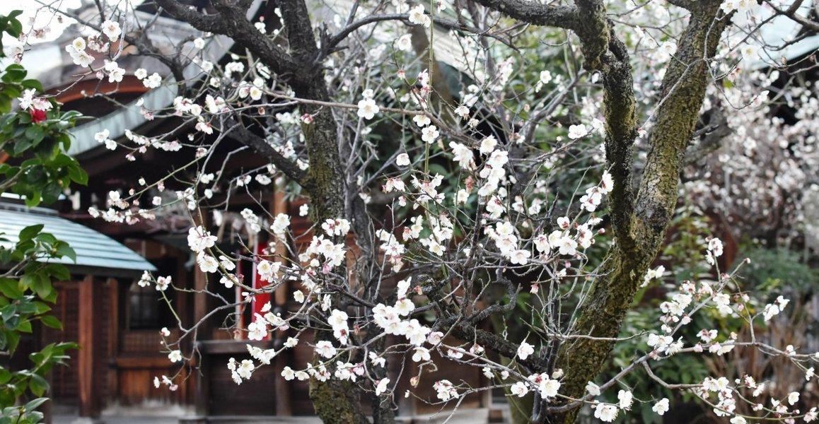 菅大臣神社の梅