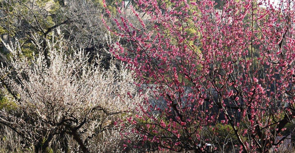 智積院の梅