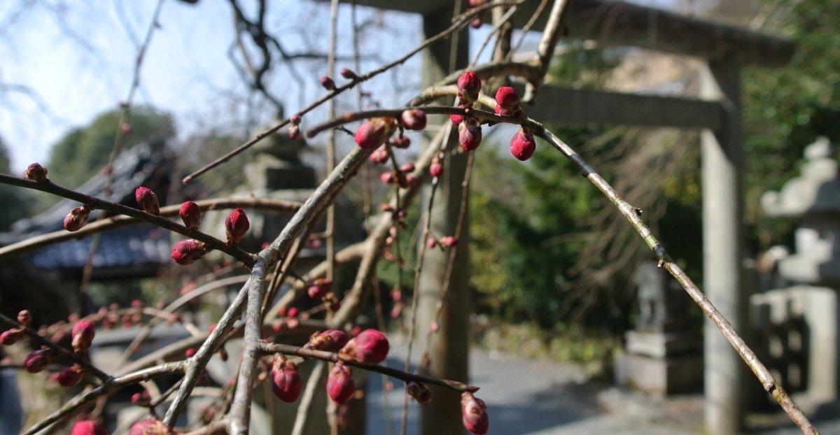 大豊神社の枝垂梅