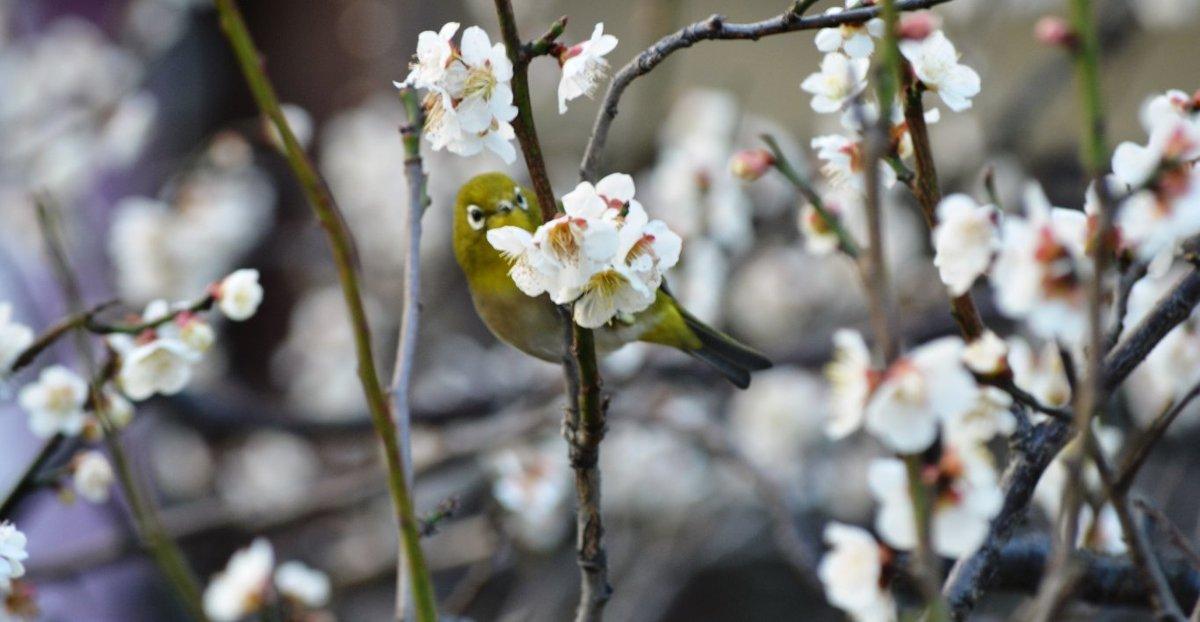 祇園白川の梅