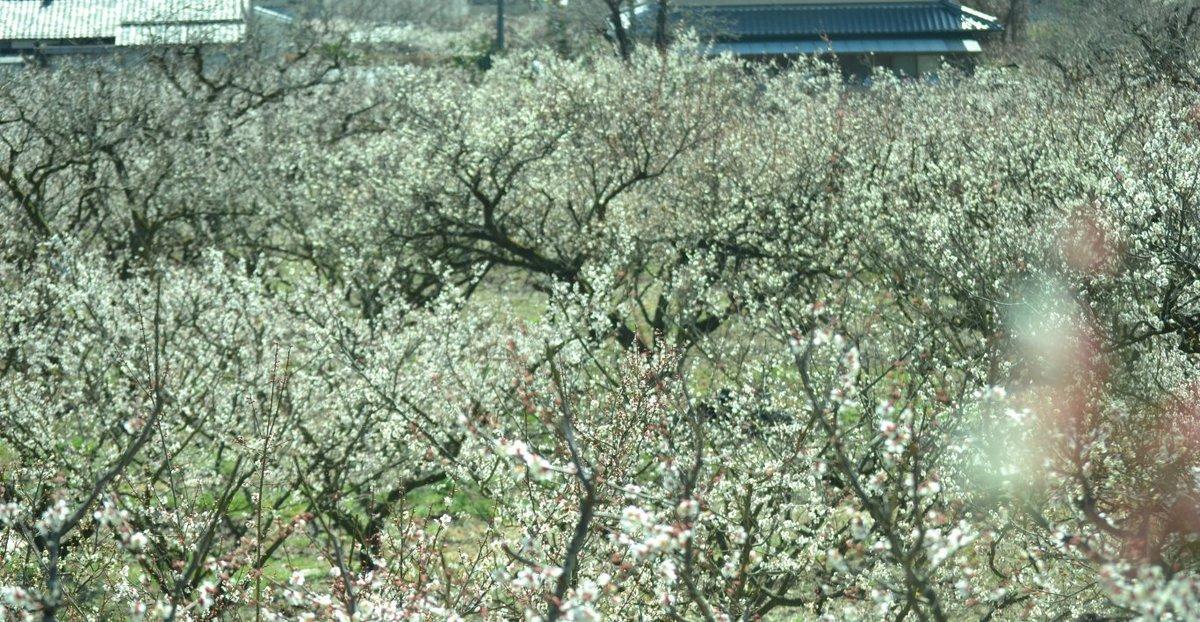 青谷梅林の梅